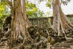 Banyanträd i tempel för Ta Prohm royaltyfri foto