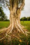Banyanträd i trädgården av en arkivfoton