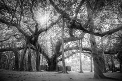 Banyanträd som är närvarande på Matrimandir på Auroville, Pondicherry Royaltyfri Fotografi