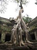 Banyanträd som överst växer av templet Ta Prohm Arkivbilder