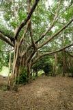 Banyanträdet är härlig bakgrund Arkivfoton