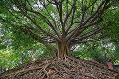 Banyanträdet Fotografering för Bildbyråer