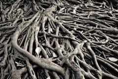 Banyanträdet rotar Royaltyfri Fotografi