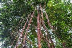 Banyanträdet rotar för bakgrund royaltyfri fotografi