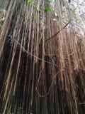Banyanträdet rotar fotografering för bildbyråer