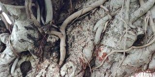 Banyanträdet rotar och texturerar naturbakgrundstapeten, royaltyfri bild