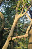 Banyanträd under solexponering Fotografering för Bildbyråer