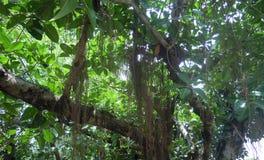 Banyanväxten som på länge står arkivbild
