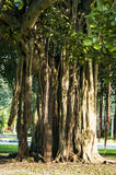 Banyon-Baum Lizenzfreie Stockfotografie