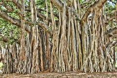 Free Banyon Tree Royalty Free Stock Photo - 16990115