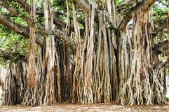 Banyon Tree royalty free stock images