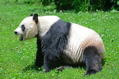 Bao Bao a Giant Panda cub born in the US. Royalty Free Stock Images