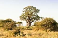 Baoba结构树 免版税库存照片