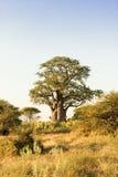 Baoba结构树 图库摄影