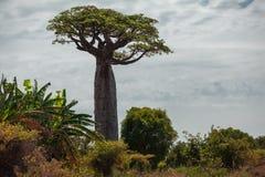Baoba结构树 马达加斯加 免版税图库摄影