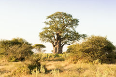 Baoba-δέντρο Στοκ φωτογραφία με δικαίωμα ελεύθερης χρήσης