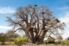 Baoba-boom Stock Foto's