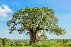 Baoba drzewo Obrazy Royalty Free