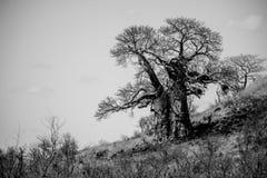 Baoba drzewo Zdjęcie Royalty Free
