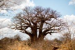 Baoba drzewo Zdjęcia Stock