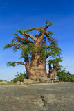Baoba drzewo Obrazy Stock