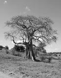 Baoba drzewo Zdjęcia Royalty Free