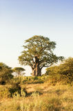 Baobab-Tree Stock Photography