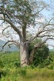 Baoba Tree Fotografering för Bildbyråer