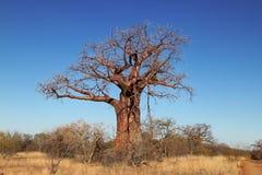Baoba Tree Royaltyfria Foton