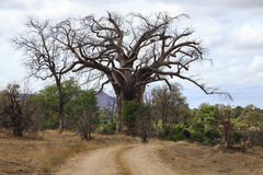 Baoba Tree Royaltyfri Fotografi