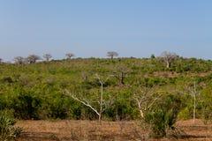 Baobabów drzewa w Afryka Zdjęcia Royalty Free