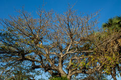 Baobabów drzewa w Afryka Zdjęcie Royalty Free