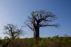 Baobabów drzewa w Afryka Zdjęcia Stock