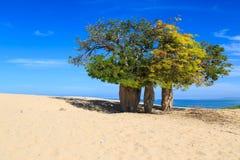 Baobabów drzewa w afrykanina krajobrazie z morzem w backgro Obraz Stock