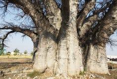 Baobab Stock Photo