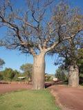 Baobab Stockfotografie