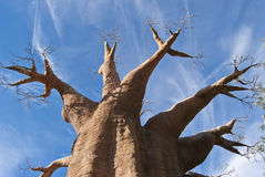 Baobab. Large African tree reproduced in Zoo Royalty Free Stock Photography