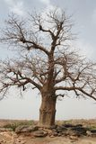 Baobab Fotografia Stock Libera da Diritti