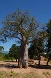 Baobab Stock Image