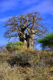 Baobab. Or boab, boaboa, bottle tree, upside-down tree, and monkey bread tree Tarangire National Park is the sixth largest national park in Tanzania after Ruaha Stock Image