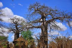 Baobab. Or boab, boaboa, bottle tree, upside-down tree, and monkey bread tree Tarangire National Park is the sixth largest national park in Tanzania after Ruaha Royalty Free Stock Images