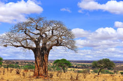 Baobab. Or boab, boaboa, bottle tree, upside-down tree, and monkey bread tree Tarangire National Park is the sixth largest national park in Tanzania after Ruaha Royalty Free Stock Image