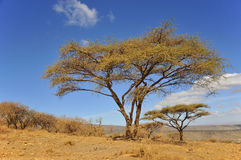 Baobab. Or boab, boaboa, bottle tree, upside-down tree, and monkey bread tree Tarangire National Park is the sixth largest national park in Tanzania after Ruaha Royalty Free Stock Photography
