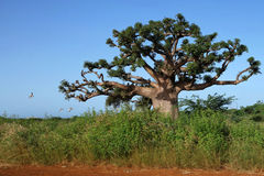 The baobab. A baobab in the savannah. Photo taken in west Africa, Senegal stock images
