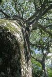 baobab royaltyfri fotografi
