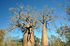 Baobab Royaltyfria Bilder