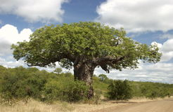 Baobab. Although relatively small, this Baobab tree was still very impressive. Photo taken near Letaba camp stock photo