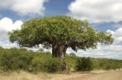 Baobab Stockfoto