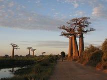 Baobab Royaltyfri Foto