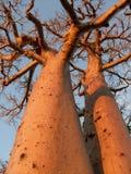 Baobab Royaltyfria Foton
